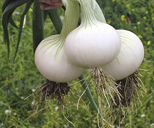 SeedsUA  1 Seeds Onion White Queen Giant Vegetable Heirloom Ukraine