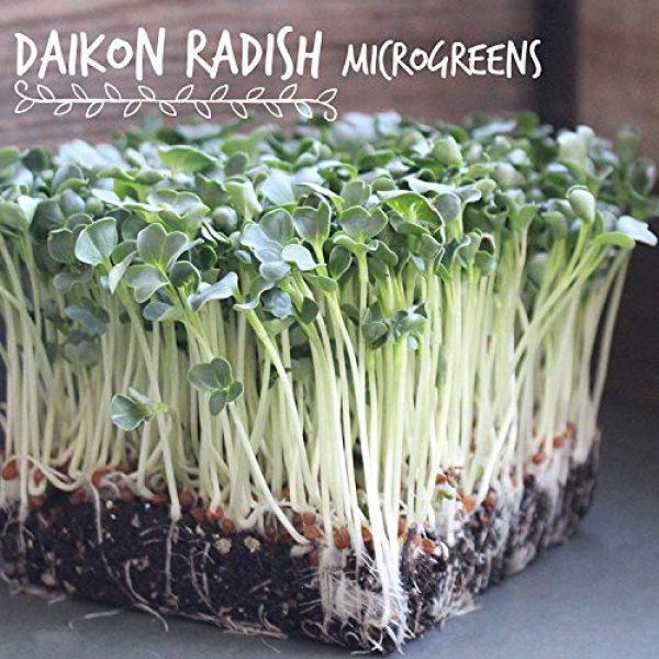 Handy Pantry Organic Seed 5 Organic Radish Sprouting Seeds - 1 Pound Non-GMO Daikon Radish Seeds - Plant & Grow Microgreens Indoors