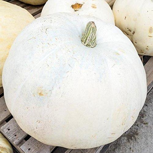 David's Garden Seeds  1 David's Garden Seeds Pumpkin Casper SL1221 (White) 25 Non-GMO