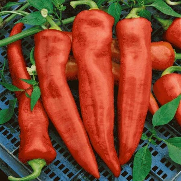 Isla's Garden Seeds Organic Seed 3 Santa Fe Grande Hot Pepper Seeds, 50+ Premium Heirloom Seeds, Chili Peppers, (Isla's Garden Seeds) Non Gmo Organic Seeds, 90% Germination, Highest Quality!