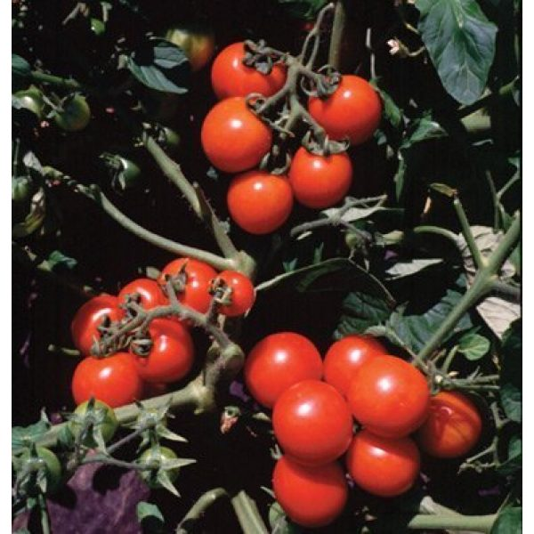 David's Garden Seeds Organic Seed 1 David's Garden Seeds Tomato Cherry Washington SL5764 (Red) 50 Non-GMO, Organic Seeds