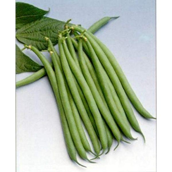 Ohio Heirloom Seeds Heirloom Seed 1 Haricot Verts Petite Filet- Green Bean Seeds- 30+ Seeds by Ohio Heirloom Seeds