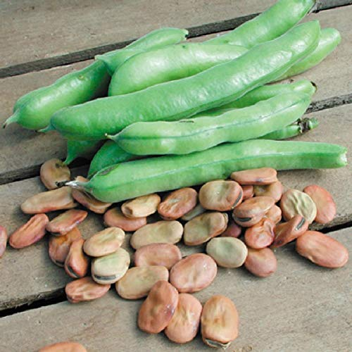 Isla's Garden Seeds  1 Fava Broad Windsor Seeds