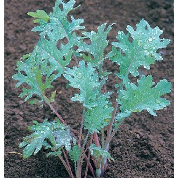David's Garden Seeds Heirloom Seed 1 David's Garden Seeds Kale Red Russian SL3633 (Red) 200 Non-GMO, Heirloom Seeds