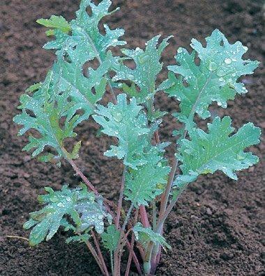 David's Garden Seeds  1 David's Garden Seeds Kale Red Russian SL3633 (Red) 200 Non-GMO
