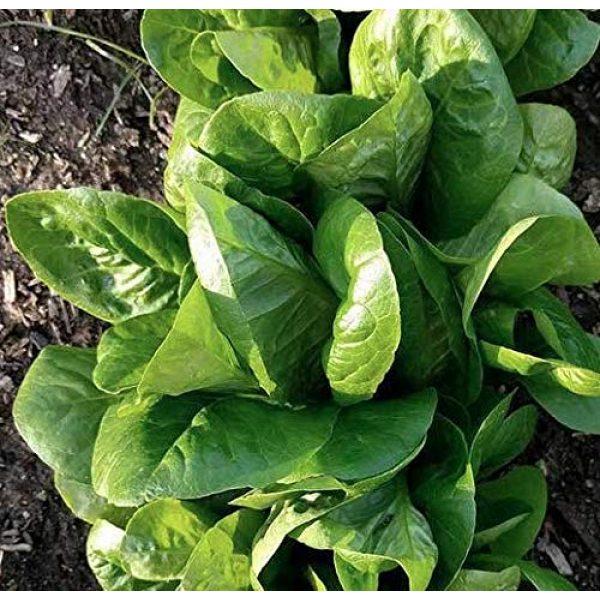 "Isla's Garden Seeds Heirloom Seed 2 ""Little Gem"" Romaine Lettuce Seeds, 1000+ Premium Heirloom Seeds, (Isla's Garden Seeds), Non GMO, 85% Germination, Highest Quality!"