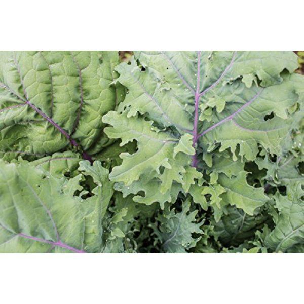 Burpee Organic Seed 3 Burpee Red Winter Kale Seeds 345 seeds