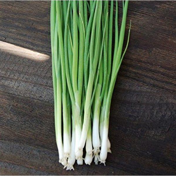 Isla's Garden Seeds Heirloom Seed 1 Evergreen Bunching Nebuka Onion Seeds, 500+ Premium Heirloom Seeds, Fun Addition to Garden! ON Sale!, (Isla's Garden Seeds), Non GMO, 85% Germination Rates, Highest Quality Seeds