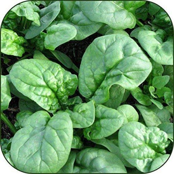 Dirt Goddess Super Seeds Organic Seed 1 Organic Bulk Spinach Seeds (1/2 Lb)