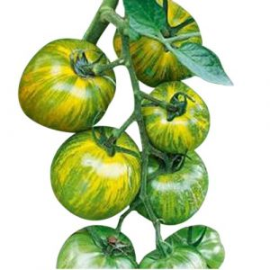 Marde Ross & Company Organic Seed 1 Organic Green Zebra Heirloom Tomato Seeds - Large Tomato - One of The Most Delicious Tomatoes for Home Growing, Non GMO - Neonicotinoid-Free.