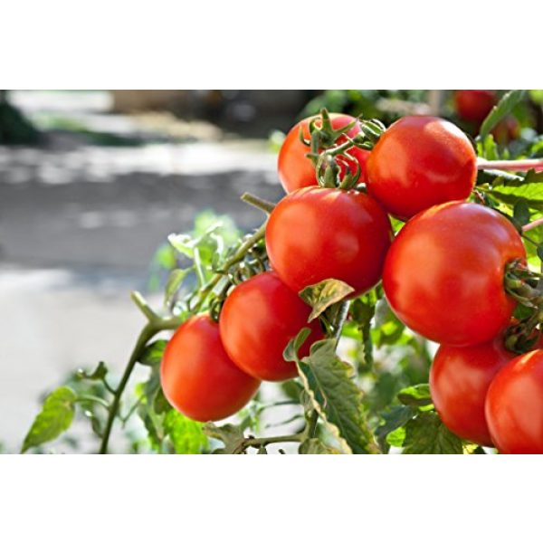 Isla's Garden Seeds Organic Seed 1 Marglobe Tomato 500+Seeds, Premium Heirloom Seeds, Top Selling Tomato Seeds, (Isla's Garden Seeds), Non Gmo Organic Survival Seeds, 90% Germination, Highest Quality
