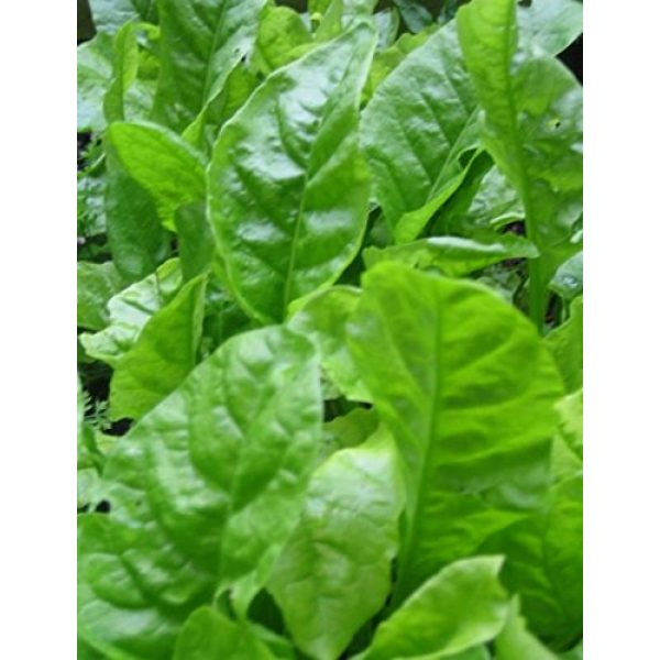 Ohio Heirloom Seeds Heirloom Seed 2 Heirloom Spinach Seed Assortment- 4 Varieties- 600+ Seeds