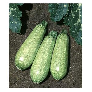 David's Garden Seeds Heirloom Seed 1 David's Garden Seeds Zucchini Tender Grey SL5310 (Green) 50 Non-GMO, Heirloom Seeds