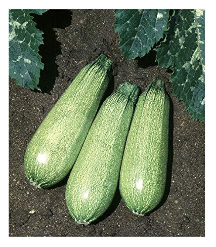 David's Garden Seeds  1 David's Garden Seeds Zucchini Tender Grey SL5310 (Green) 50 Non-GMO