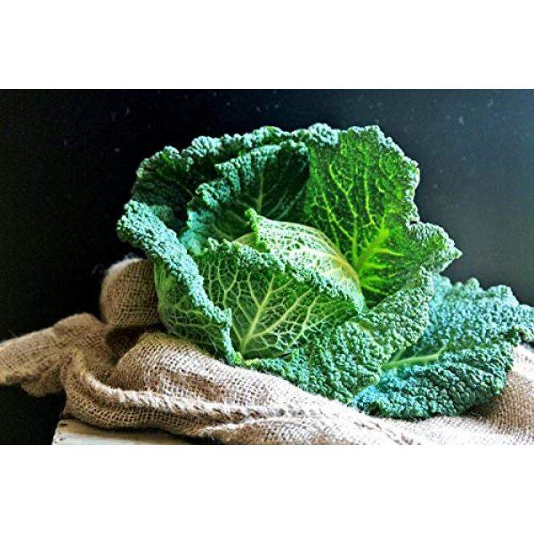 SeedsUA Heirloom Seed 6 Seeds Savoy Cabbage Vertus Beautiful Vegetable Heirloom Ukraine for Planting