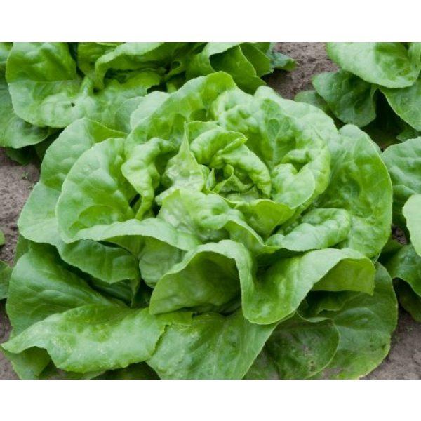 Ohio Heirloom Seeds Heirloom Seed 1 2,000+ Buttercrunch Heirloom Lettuce Seeds- 2020 Seeds