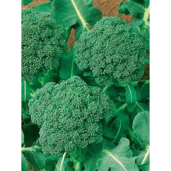 Dirt Goddess Super Seeds Organic Seed 4 Bulk Organic Green Sprouting Calabrese Broccoli (1 Lb)