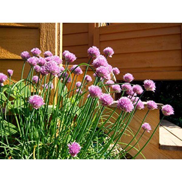 Fertile Ukraine Seeds Heirloom Seed 4 Seeds Chives Onion Green Vegetable Heirloom Ukraine