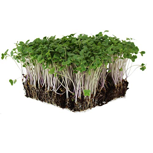 Mountain Valley Seed Company  1 Waltham 29 Broccoli Seeds   Non-GMO Bulk Heirloom Broccoli Seeds for Sprouting