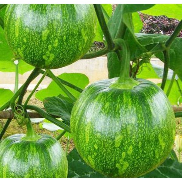 Kuting Organic Seed 2 Small Pumpkin Seeds 25+ Green Striped Cushaw Squash Melon Garden Vegetable Organic Chinese Fresh Herb Climbing Seeds for Planting Outdoor for Cooking Dish Soup Easy to Grown (Small Pumpkin Seeds)