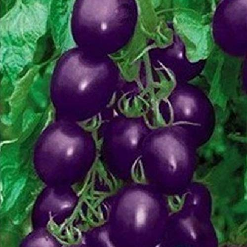 Mistyrain  4 Tomato Seeds Vegetables Seeds Purple Tomato Seeds Bonsai Vegetables Delicious Tasty Organic Seeds Tomato Plants Seeds for Planting Home Garden Yard Fruits Vegetables Bonsai Balcony Farm Indoor Outdoor