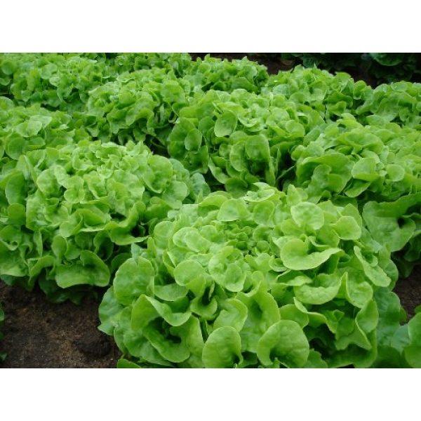 Ohio Heirloom Seeds Heirloom Seed 1 Green Oak Leaf (Oakleaf) Heirloom Lettuce Seeds- 1,000+ Seeds
