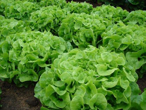 Ohio Heirloom Seeds  1 Green Oak Leaf (Oakleaf) Heirloom Lettuce Seeds- 1
