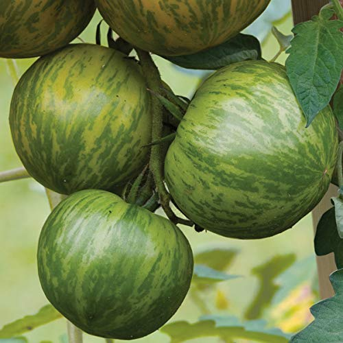 Burpee  1 Burpee 'Green Zebra' Organic | Green Slicing Tomato | 30 Seeds