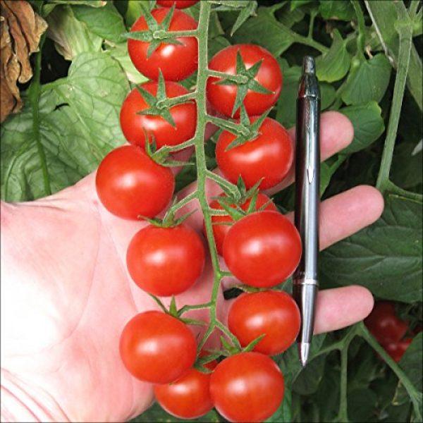 Fertile Ukraine Seeds Heirloom Seed 6 Seeds Cherry Tomato Red Early Vegetable Heirloom Ukraine