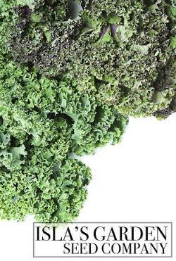 "Isla's Garden Seeds  2 ""Parris Island"" Romaine Lettuce Seeds"
