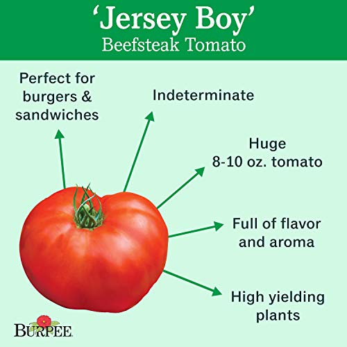 Burpee  2 Burpee 'Jersey Boy' Hybrid | Beefsteak Slicing Tomato | Heirloom Flavor | 25 Seeds