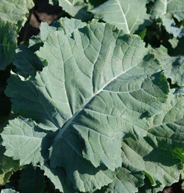 Seed Kingdom  2 Kale Premier Great Heirloom Vegetable by Seed Kingdom Bulk 30
