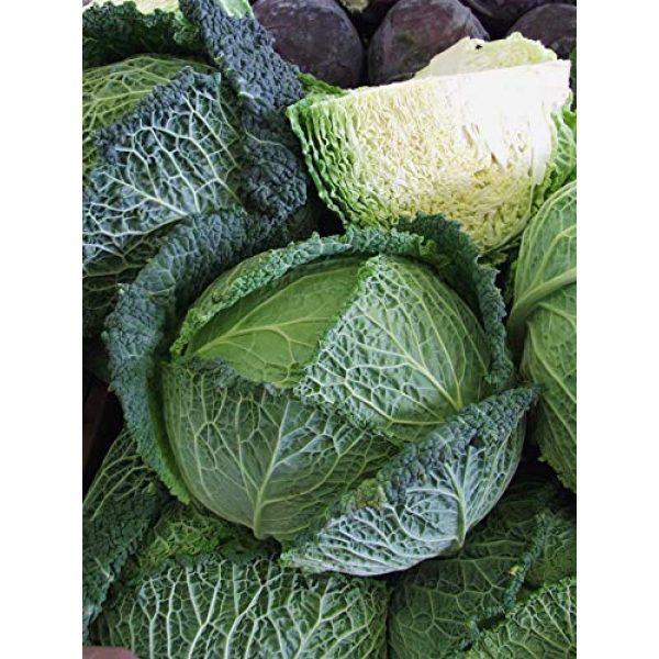 SeedsUA Heirloom Seed 7 Seeds Savoy Cabbage Vertus Beautiful Vegetable Heirloom Ukraine for Planting