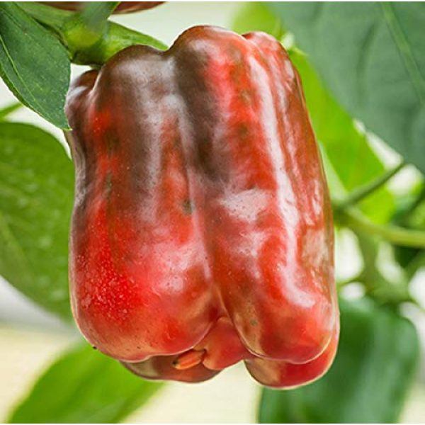 David's Garden Seeds Heirloom Seed 1 David's Garden Seeds Pepper Bell King of The North SL7309 (Red) 25 Non-GMO, Heirloom Seeds