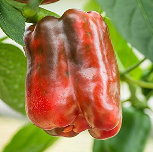 David's Garden Seeds  1 David's Garden Seeds Pepper Bell King of The North SL7309 (Red) 25 Non-GMO