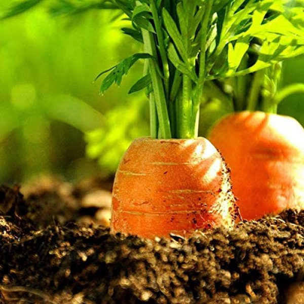 Mistyrain Organic Seed 5 Carrot Seeds Vegetable Seeds Organic Garden Planting Seeds Perennial Fresh Seeds Bonsai Nutritious Seeds for Home Garden Yard Roof Planting Outside Door Home Plant for Cooking Dish Soup Non-GMO,100pcs