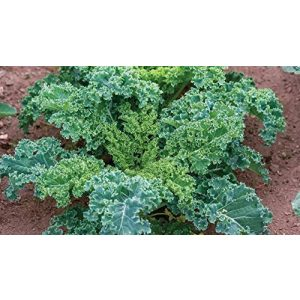 Isla's Garden Seeds Heirloom Seed 1 Forage Premier Kale Seeds, 1000+ Premium Heirloom Seeds, Rich Delicious Leafy Kale! Fantastic Addition to Your Home Garden! (Isla's Garden Seeds), Non GMO, 90% Germination, Highest Quality Seeds