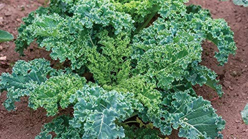 Isla's Garden Seeds  1 Forage Premier Kale Seeds
