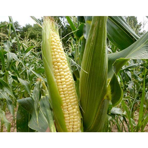 "Isla's Garden Seeds Heirloom Seed 1 ""Top Hat"" OP Sugary Enhanced Hybrid Yellow Corn Seeds, 25+ Premium Heirloom Seeds, Incredible flavor, Hot Price! (Isla's Garden Seeds), Non Gmo Seeds, 85% Germination, Highest Quality Seeds, 100% Pure"