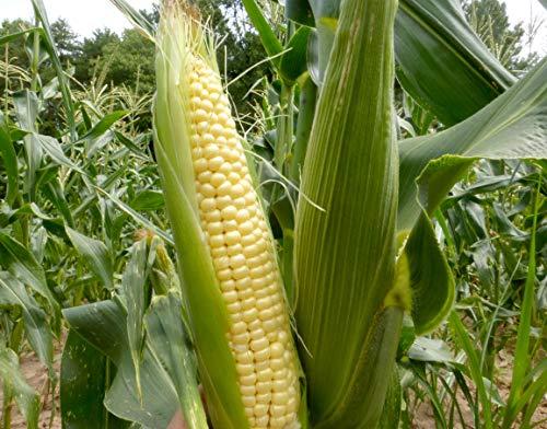 "Isla's Garden Seeds  1 ""Top Hat"" OP Sugary Enhanced Hybrid Yellow Corn Seeds"