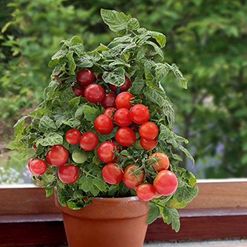 SeedsUA  4 Seeds Rare Tomato Indoor Pot Red Early Vegetable Heirloom Ukraine