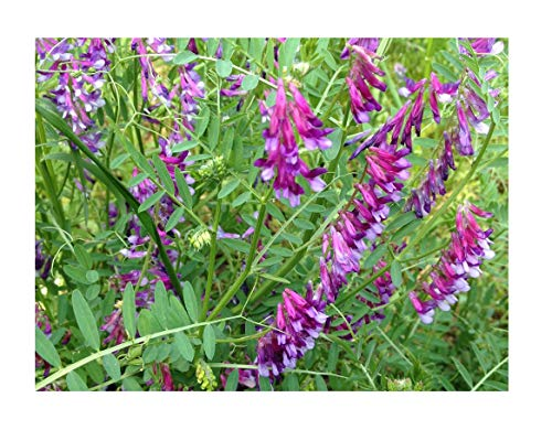 David's Garden Seeds  1 David's Garden Seeds Cover Crop Hairy Vetch 9876 (Purple) Non-GMO