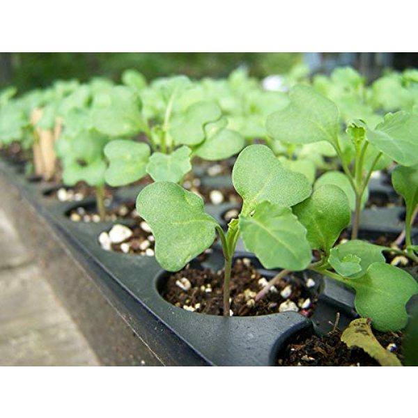 Food to Live Organic Seed 6 Organic Broccoli Seeds for Sprouting by Food to Live (Non GMO, Kosher, Bulk) 1 Pound