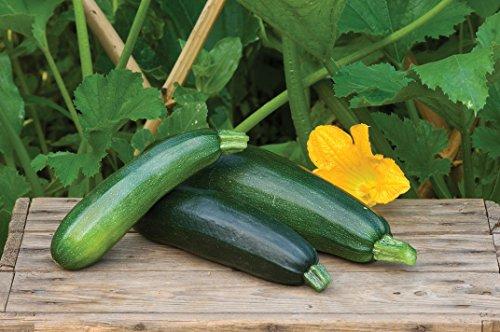 Burpee  2 Burpee Fordhook Zucchini Summer Squash Seeds 50 seeds
