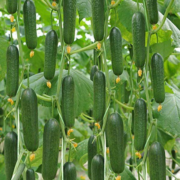 Business sasha Organic Seed 1 Business sasha Each Pack 20Seeds Heirloom Healthy Organic Vegetable Holland Mini Cucumber Seeds (3)
