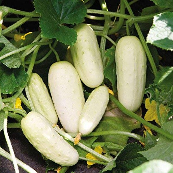 Isla's Garden Seeds Heirloom Seed 4 Ivory White Wonder Cucumber Seeds - 100+ Premium Heirloom Seeds,(Isla's Garden Seeds),Non Gmo, 90% Germination Rate, Highest Quality!