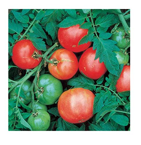 David's Garden Seeds  1 David's Garden Seeds Tomato Slicing Arkansas Traveler SL4910 (Red) 50 Non-GMO