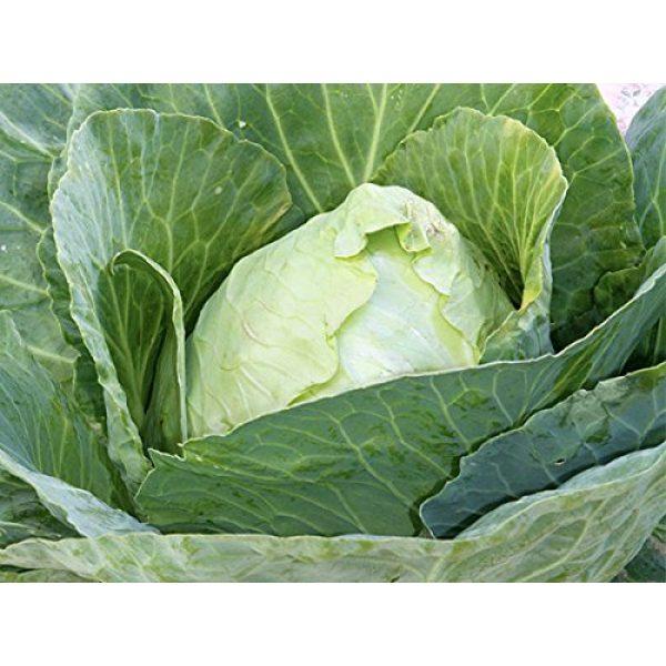 Seed Kingdom Heirloom Seed 1 Cabbage Early Jersey Wakefield Great Heirloom Vegetable by Seed Kingdom Bulk 16,000 Seeds