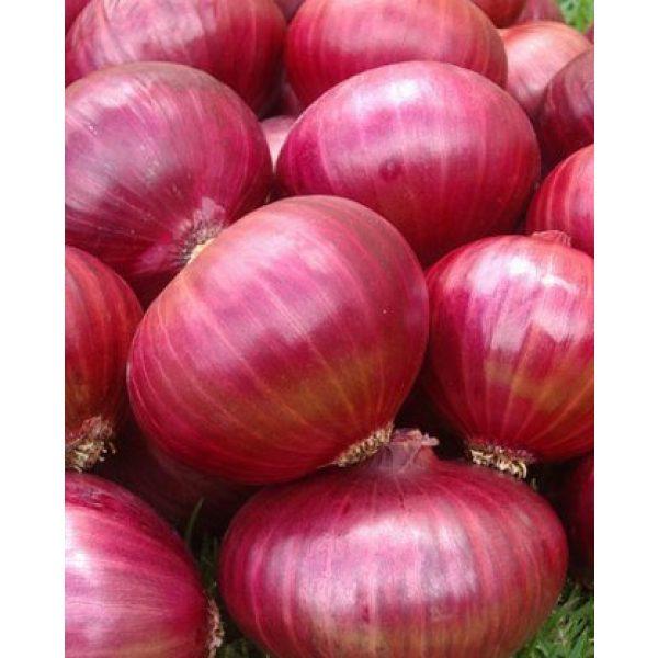 Seed Kingdom Heirloom Seed 1 Onion RED Creole Great Heirloom Vegetable by Seed Kingdom Bulk 1/4 Lb Seeds