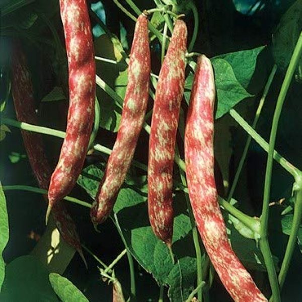 Isla's Garden Seeds Heirloom Seed 3 Taylor Dwart Horticulture Bean Seeds, 50+ Premium Heirloom Seeds, Fantastic Addition to Your Home Garden! Bush Bean, (Isla's Garden Seeds),95% Germination Rate, Non GMO, Highest Quality Seeds
